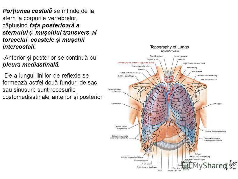 Porţiunea costală se întinde de la stern la corpurile vertebrelor, căptuşind faţa posterioară a sternului şi muşchiul transvers al toracelui, coastele şi muşchii intercostali. -Anterior şi posterior se continuă cu pleura mediastinală. -De-a lungul li