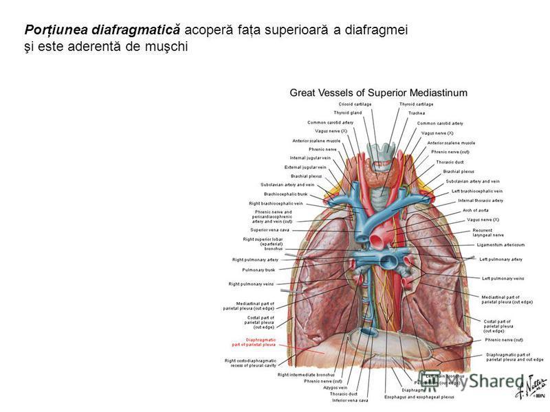 Porţiunea diafragmatică acoperă faţa superioară a diafragmei şi este aderentă de muşchi