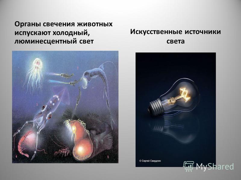 Органы свечения животных испускают холодный, люминесцентный свет Искусственные источники света