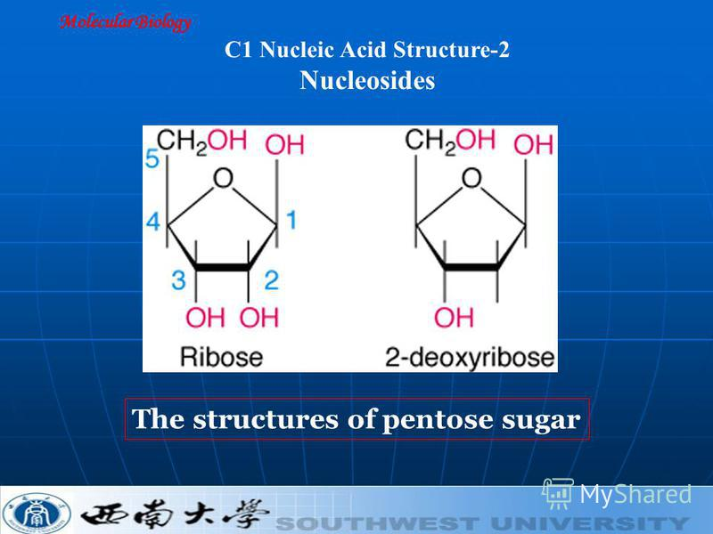 Molecular Biology C1 Nucleic Acid Structure-2 Nucleosides The structures of pentose sugar