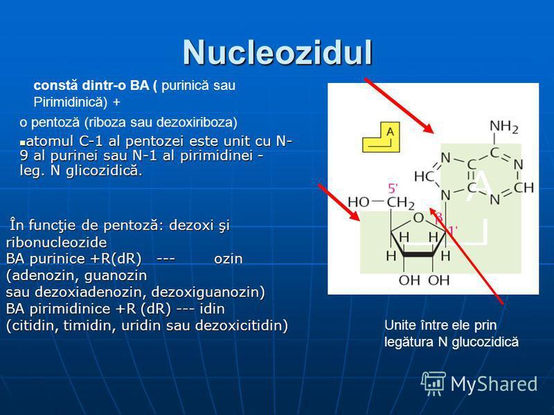 Nucleozidul constă dintr-o BA ( purinică sau Pirimidinică) + o pentoză (riboza sau dezoxiriboza) atomul C-1 al pentozei este unit cu N- 9 al purinei sau N-1 al pirimidinei - leg. N glicozidică. atomul C-1 al pentozei este unit cu N- 9 al purinei sau