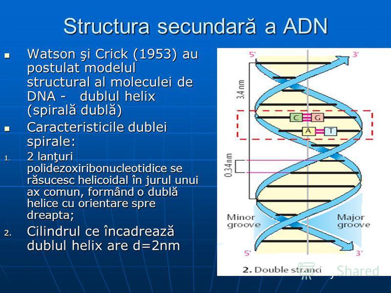 Structura secundară a ADN Watson şi Crick (1953) au postulat modelul structural al moleculei de DNA - dublul helix (spirală dublă) Watson şi Crick (1953) au postulat modelul structural al moleculei de DNA - dublul helix (spirală dublă) Caracteristici