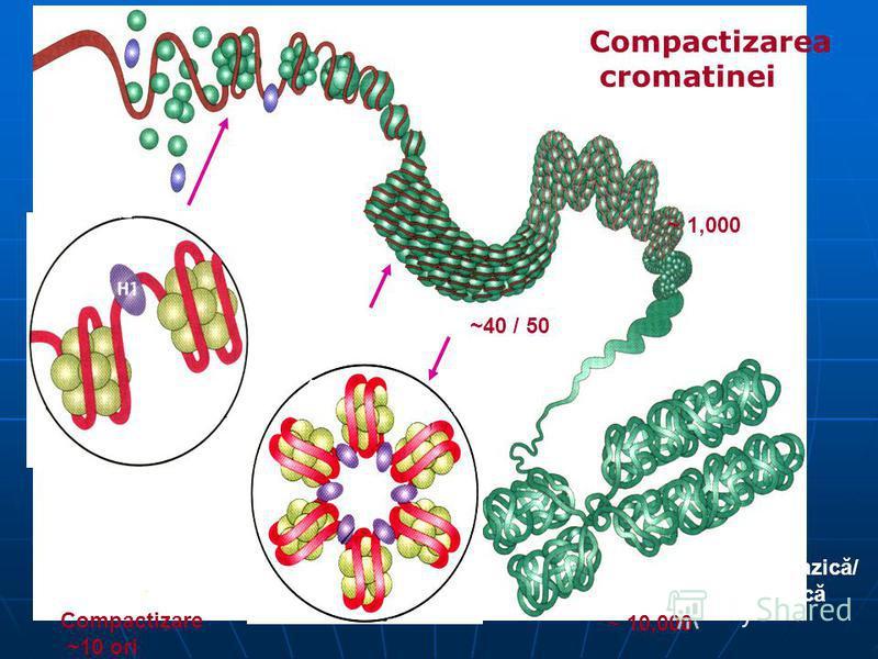 30 nm Solenoid ~40 / 50 DNA Firul de cromatină? ~ 1,000 Cromosoma metafazică/ cromatina interfazică ~ 10,000 Compactizarea cromatinei Nucleosoma = оctamer de histone H2a, H2b, H3, H4 146 / 200 bp DNA Compactizare ~10 ori