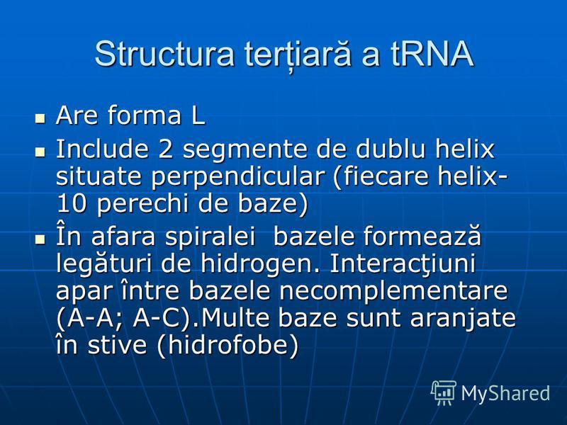 Structura terţiară a tRNA Are forma L Are forma L Include 2 segmente de dublu helix situate perpendicular (fiecare helix- 10 perechi de baze) Include 2 segmente de dublu helix situate perpendicular (fiecare helix- 10 perechi de baze) În afara spirale