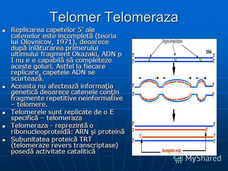Telomer Telomeraza Replicarea capetelor 5 ale catenelor este incompletă (teoria lui Olovnicov, 1971), deoarece după înlăturarea primerului ultimului fragment Okazaki, ADN p I nu e e capabilă să completeze aceste goluri. Astfel la fiecare replicare, c