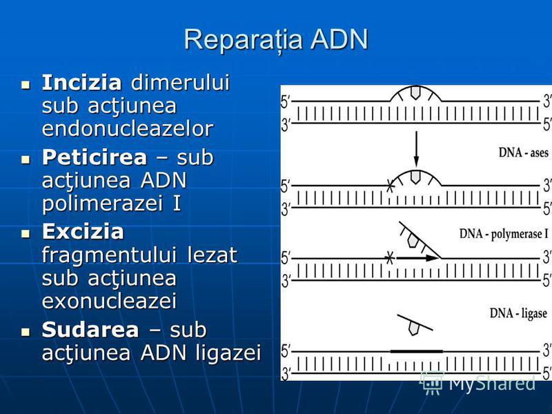 Reparaţia ADN Incizia dimerului sub acţiunea endonucleazelor Incizia dimerului sub acţiunea endonucleazelor Peticirea – sub acţiunea ADN polimerazei I Peticirea – sub acţiunea ADN polimerazei I Excizia fragmentului lezat sub acţiunea exonucleazei Exc