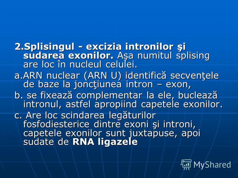 2.Splisingul - excizia intronilor şi sudarea exonilor. Aşa numitul splising are loc în nucleul celulei. a.ARN nuclear (ARN U) identifică secvenţele de baze la joncţiunea intron – exon, b. se fixează complementar la ele, buclează intronul, astfel apro