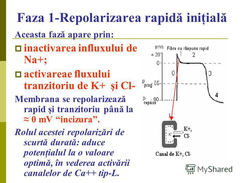 Faza 1-Repolarizarea rapidă iniţială Aceasta fază apare prin: inactivarea influxului de Na+; activareae fluxului tranzitoriu de K+ şi Cl- Membrana se repolarizează rapid şi tranzitoriu până la 0 mV incizura. Rolul acestei repolarizări de scurtă durat