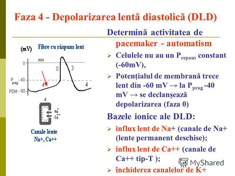 Faza 4 - Depolarizarea lentă diastolică (DLD) Determină activitatea de pacemaker - automatism Celulele nu au un P repaus constant (-60mV), Potenţialul de membrană trece lent din -60 mV la P prag -40 mV se declanşează depolarizarea (faza 0) Bazele ion