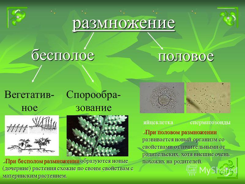 бесполое размножение половое Вегетатив- ное Спорообра- зование яйцеклетка сперматозоиды При бесполом размножении образуются новые (дочерние) растения схожие по своим свойствам с материнским растением. При половом размножении развивается новый организ