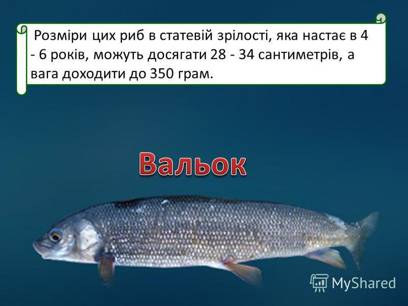 Розміри цих риб в статевій зрілості, яка настає в 4 - 6 років, можуть досягати 28 - 34 сантиметрів, а вага доходити до 350 грам.