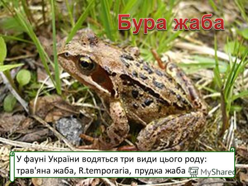 У фауні України водяться три види цього роду: трав'яна жаба, R.temporaria, прудка жаба