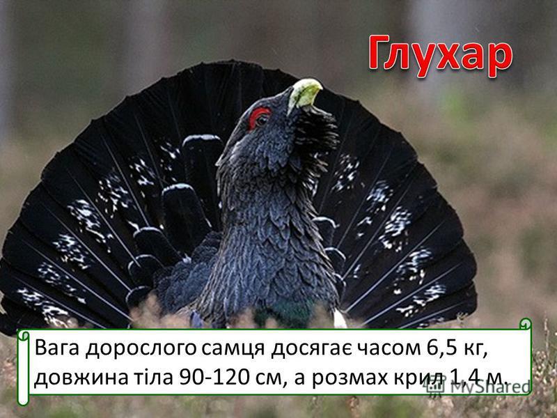 Вага дорослого самця досягає часом 6,5 кг, довжина тіла 90-120 см, а розмах крил 1,4 м.