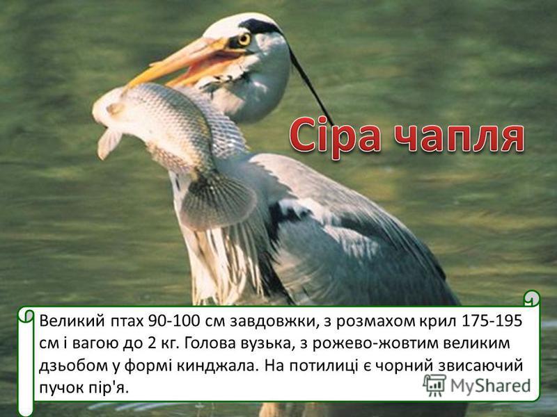 Великий птах 90-100 см завдовжки, з розмахом крил 175-195 см і вагою до 2 кг. Голова вузька, з рожево-жовтим великим дзьобом у формі кинджала. На потилиці є чорний звисаючий пучок пір'я.