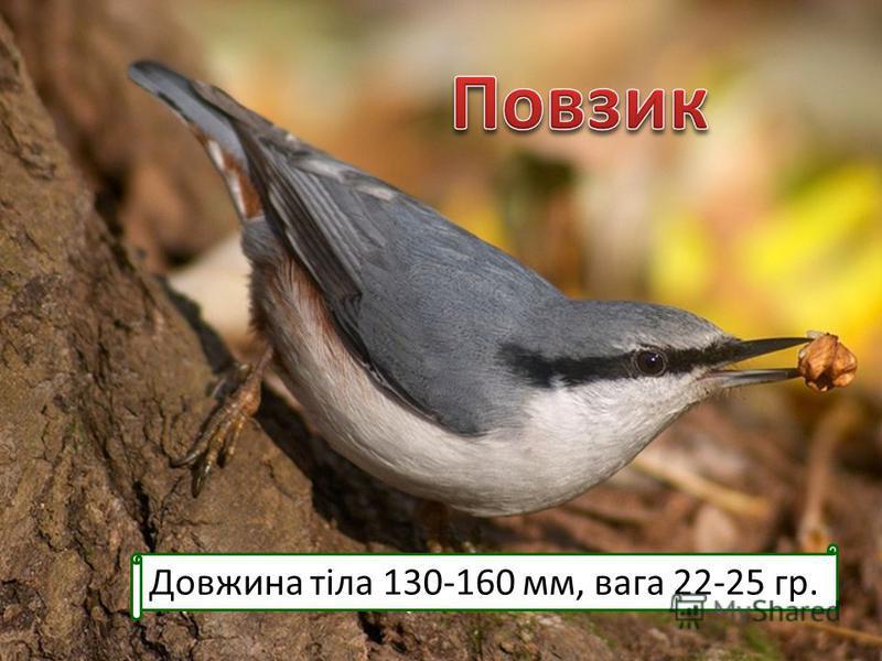 Довжина тіла 130-160 мм, вага 22-25 гр.
