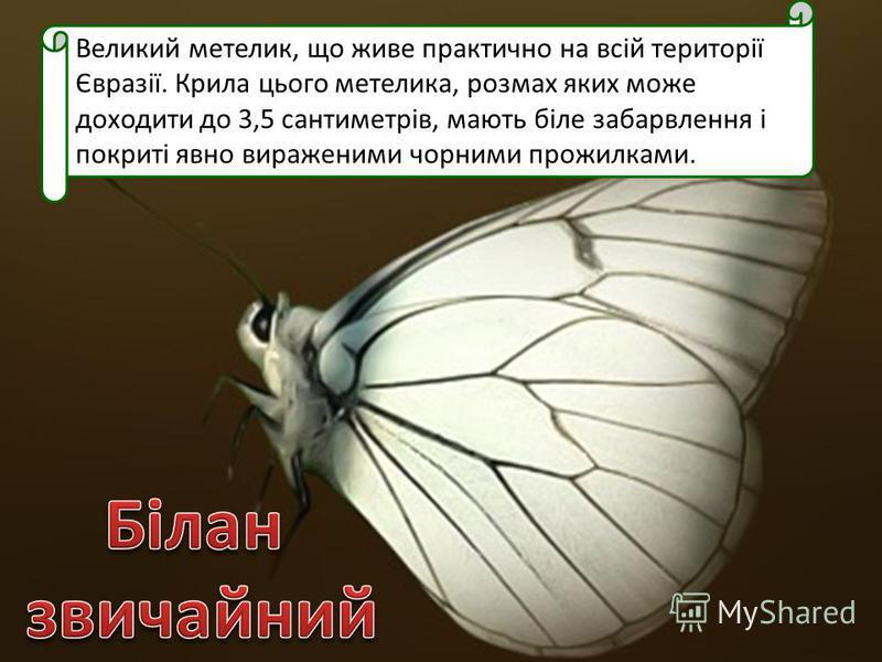 Великий метелик, що живе практично на всій території Євразії. Крила цього метелика, розмах яких може доходити до 3,5 сантиметрів, мають біле забарвлення і покриті явно вираженими чорними прожилками.