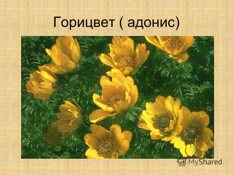 Горицвет ( адонис)