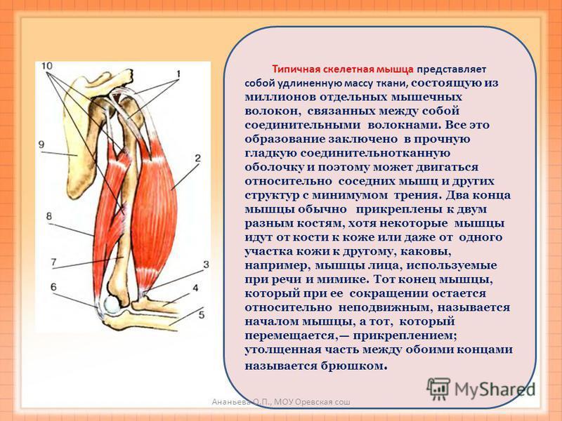 Типичная скелетная мышца представляет собой удлиненную массу ткани, состоящую из миллионов отдельных мышечных волокон, связанных между собой соединительными волокнами. Все это образование заключено в прочную гладкую соединительнотканную оболочку и по