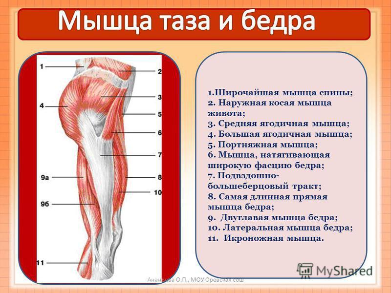 1. Широчайшая мышца спины; 2. Наружная косая мышца живота; 3. Средняя ягодичная мышца; 4. Большая ягодичная мышца; 5. Портняжная мышца; 6. Мышца, натягивающая широкую фасцию бедра; 7. Подвздошно- большеберцовый тракт; 8. Самая длинная прямая мышца бе