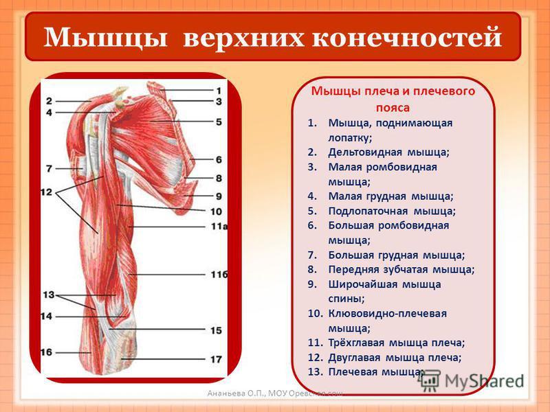 Мышцы верхних конечностей Мышцы плеча и плечевого пояса 1.Мышца, поднимающая лопатку; 2. Дельтовидная мышца; 3. Малая ромбовидная мышца; 4. Малая грудная мышца; 5. Подлопаточная мышца; 6. Большая ромбовидная мышца; 7. Большая грудная мышца; 8. Передн