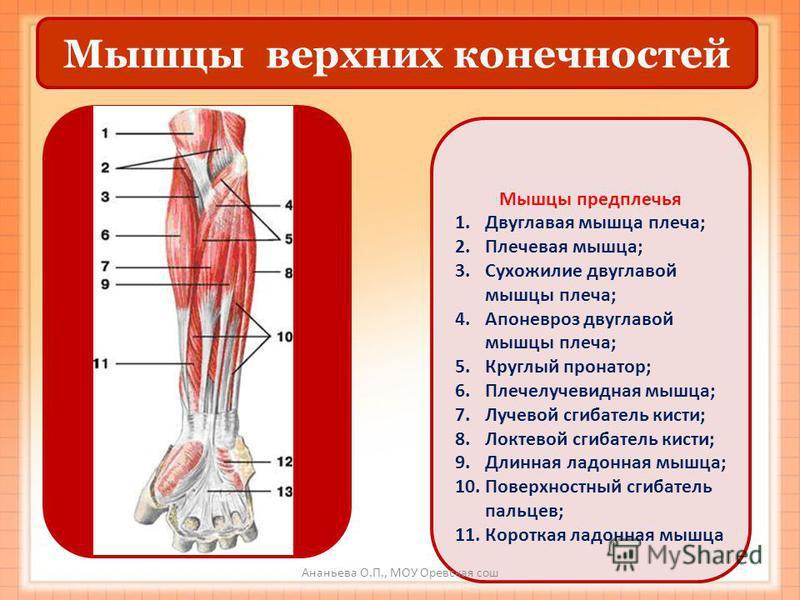 Мышцы верхних конечностей Мышцы предплечья 1. Двуглавая мышца плеча; 2. Плечевая мышца; 3. Сухожилие двуглавой мышцы плеча; 4. Апоневроз двуглавой мышцы плеча; 5. Круглый пронатор; 6. Плечелучевидная мышца; 7. Лучевой сгибатель кисти; 8. Локтевой сги