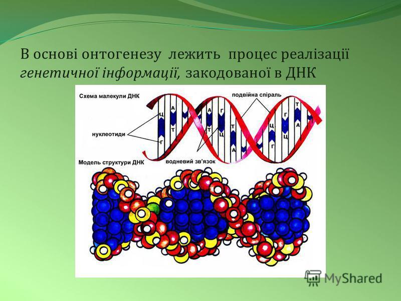 В основі онтогенезу лежить процес реалізації генетичної інформації, закодованої в ДНК