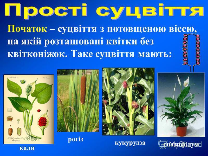 Початок – суцвіття з потовщеною віссю, на якій розташовані квітки без квітконіжок. Таке суцвіття мають: кали рогіз кукурудза спатифілум