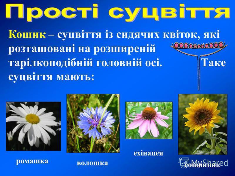 Кошик – суцвіття із сидячих квіток, які розташовані на розширеній тарілкоподібній головній осі. Таке суцвіття мають: соняшник ромашка волошка ехінацея