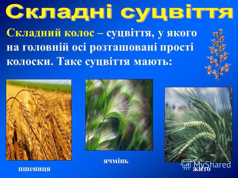 Складний колос – суцвіття, у якого на головній осі розташовані прості колоски. Таке суцвіття мають: пшеницяжито ячмінь