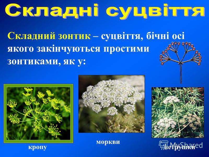 Складний зонтик – суцвіття, бічні осі якого закінчуються простими зонтиками, як у: кропу моркви петрушки