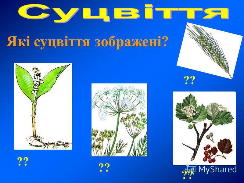 ?? Які суцвіття зображені?