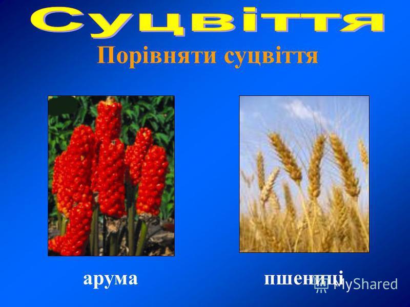 Порівняти суцвіття пшениціарума