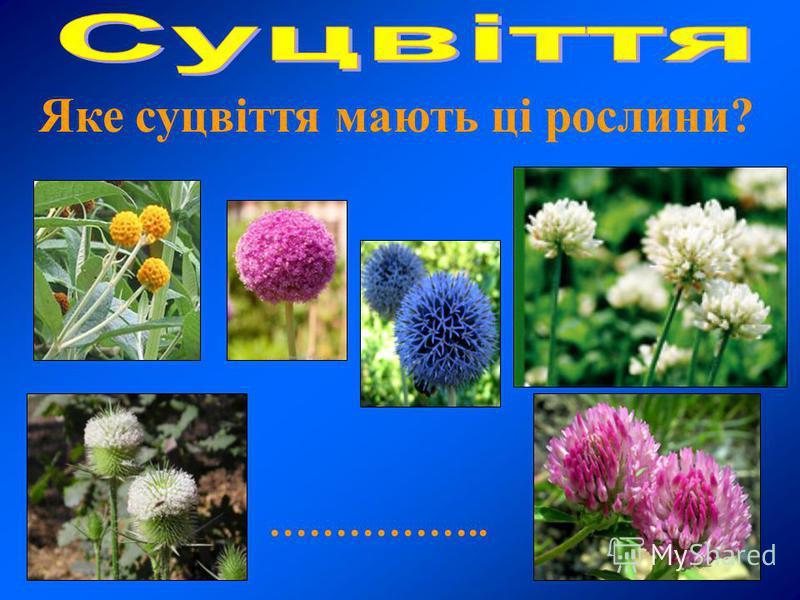 Яке суцвіття мають ці рослини? ……………..