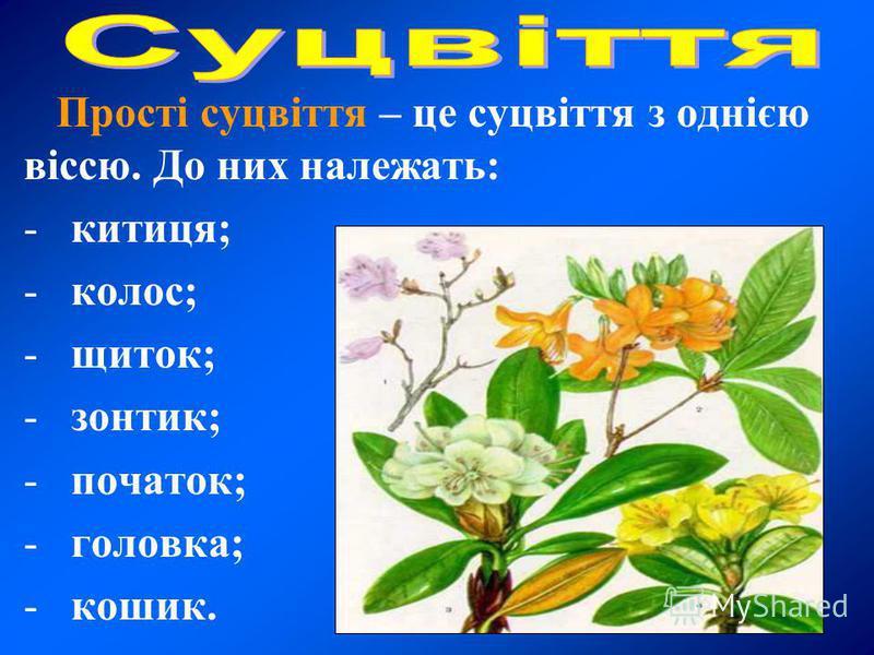 Прості суцвіття – це суцвіття з однією віссю. До них належать: - китиця; - колос; - щиток; - зонтик; - початок; - головка; - кошик.