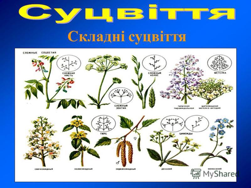 Складні суцвіття