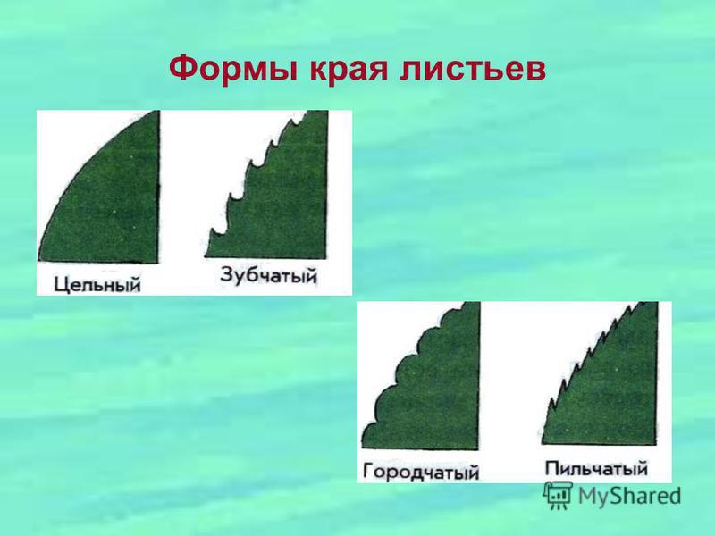 Формы края листьев