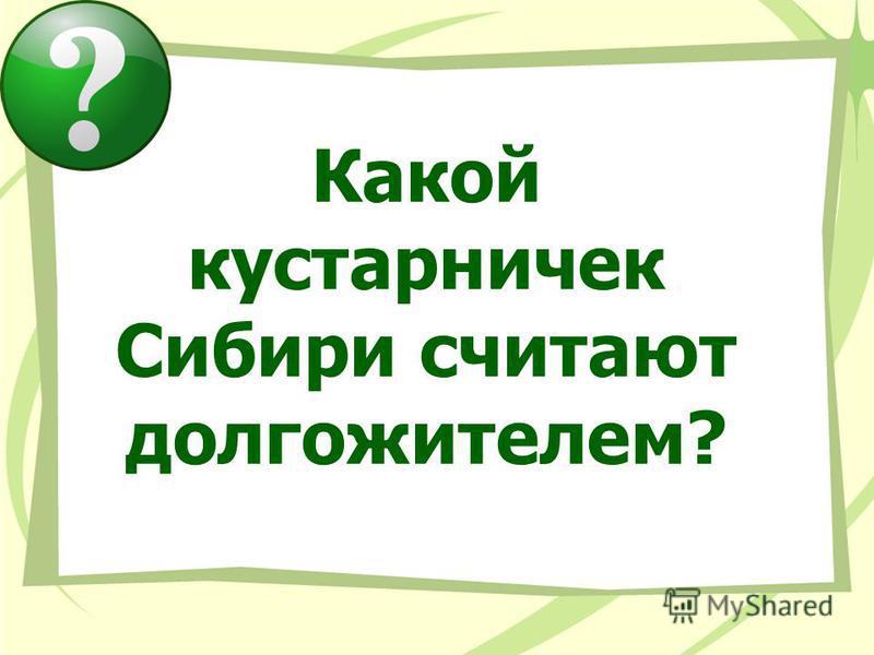 Какой кустарничек Сибири считают долгожителем?