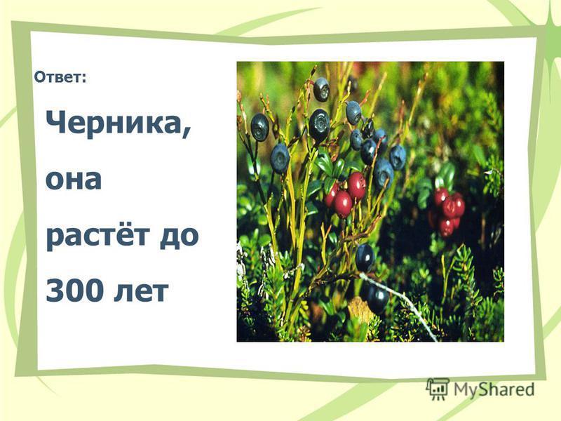 Ответ: Черника, она растёт до 300 лет
