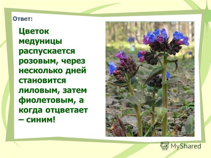 Ответ: Цветок медуницы распускается розовым, через несколько дней становится лиловым, затем фиолетовым, а когда отцветает – синим!