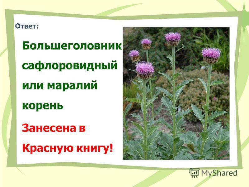 Ответ: Большеголовник сафлоровидный или маралий корень Занесена в Красную книгу!