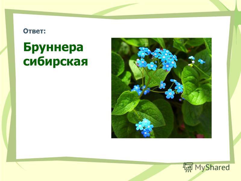 Ответ: Бруннера сибирская