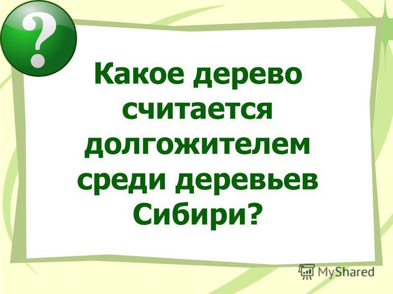 Какое дерево считается долгожителем среди деревьев Сибири?