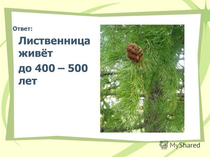 Ответ: Лиственница живёт до 400 – 500 лет