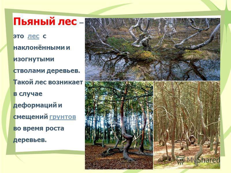 Пьяный лес – это лес с наклонёнными и изогнутыми стволами деревьев. Такой лес возникает в случае деформаций и смещений грунтов во время роста деревьев.лес грунтов