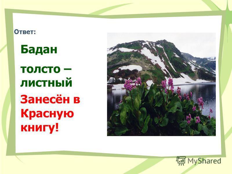 Ответ: Бадан толстолистный Занесён в Красную книгу!