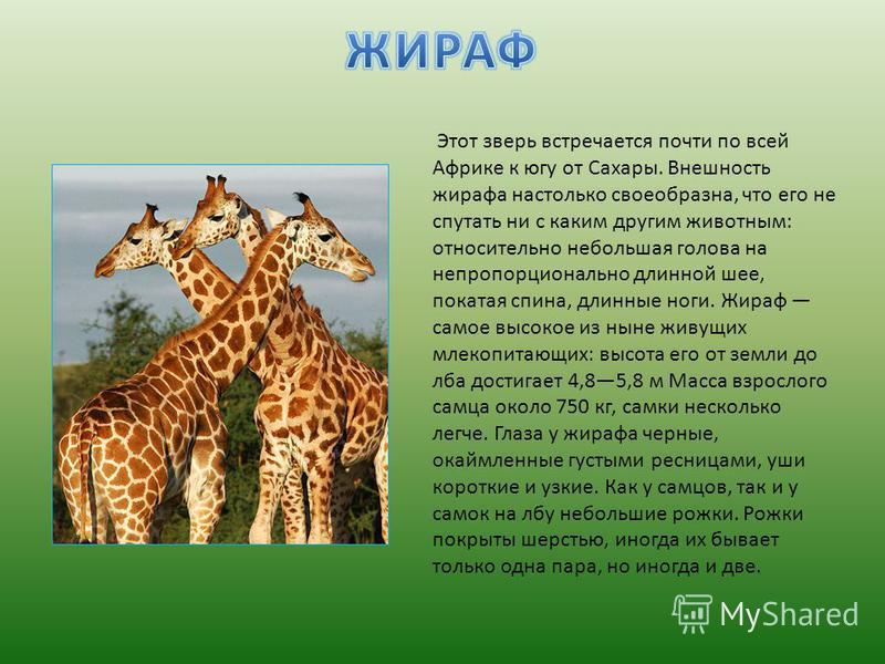 Этот зверь встречается почти по всей Африке к югу от Сахары. Внешность жирафа настолько своеобразна, что его не спутать ни с каким другим животным: относительно небольшая голова на непропорционально длинной шее, покатая спина, длинные ноги. Жираф сам