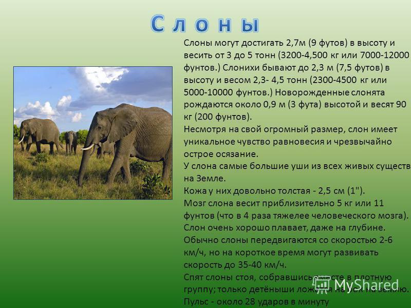Слоны могут достигать 2,7 м (9 футов) в высоту и весить от 3 до 5 тонн (3200-4,500 кг или 7000-12000 фунтов.) Слонихи бывают до 2,3 м (7,5 футов) в высоту и весом 2,3- 4,5 тонн (2300-4500 кг или 5000-10000 фунтов.) Новорожденные слонята рождаются око