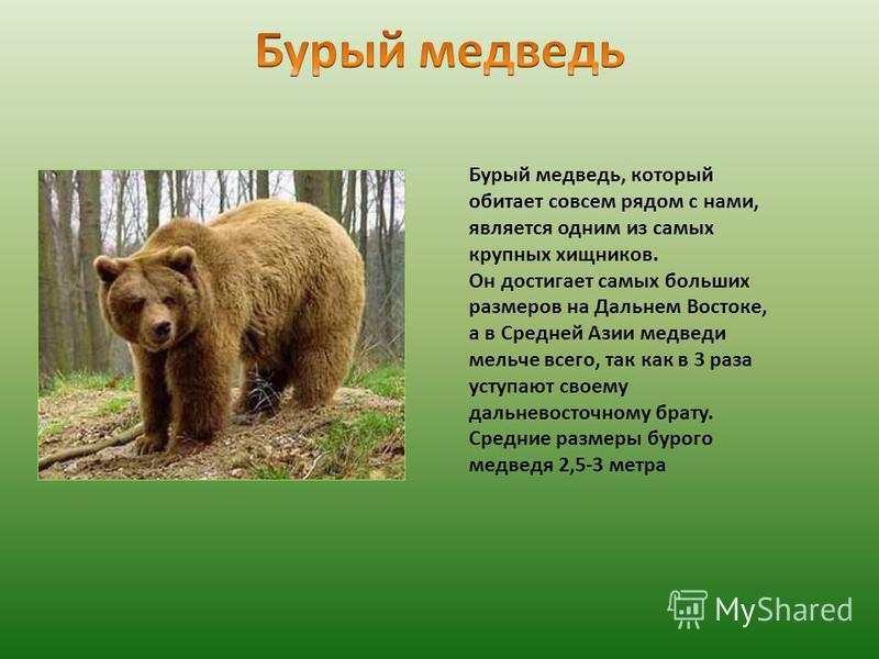 Бурый медведь, который обитает совсем рядом с нами, является одним из самых крупных хищников. Он достигает самых больших размеров на Дальнем Востоке, а в Средней Азии медведи мельче всего, так как в 3 раза уступают своему дальневосточному брату. Сред