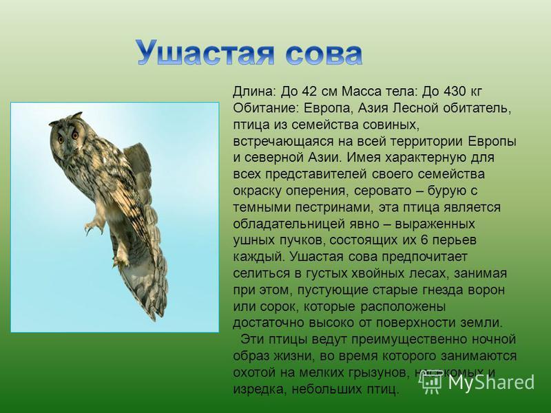 Длина: До 42 см Масса тела: До 430 кг Обитание: Европа, Азия Лесной обитатель, птица из семейства совиных, встречающаяся на всей территории Европы и северной Азии. Имея характерную для всех представителей своего семейства окраску оперения, серовато –