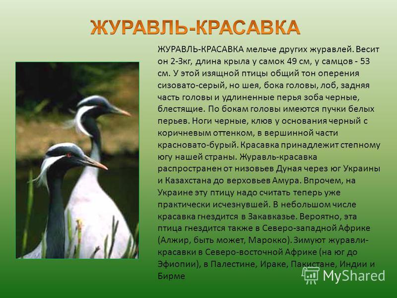 ЖУРАВЛЬ-КРАСАВКА мельче других журавлей. Весит он 2-Зкг, длина крыла у самок 49 см, у самцов - 53 см. У этой изящной птицы общий тон оперения сизовато-серый, но шея, бока головы, лоб, задняя часть головы и удлиненные перья зоба черные, блестящие. По